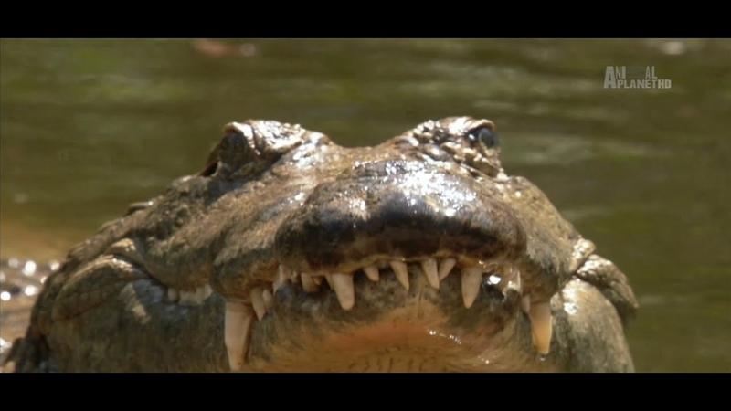 В дебрях Африки Нил Африканская одиссея Документальный фильм Animal Planet Wildest Africa Nile