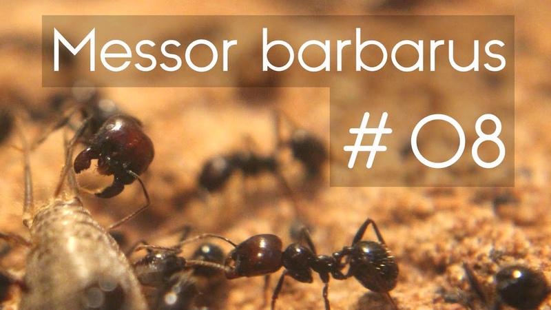 Messor barbarus 08 Feeding the Colony