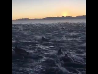 Тысячи дельфинов у берегов Шпицбергена