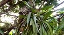 Loại lan dáng hương nào rễ trồng, rễ thuần nhất.