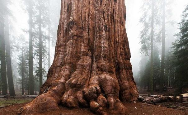 Самое высокое дерево в мире. По самым скромным оценкам на нашей планете растут несколько триллионов деревьев. Как и во всей природе, среди них наблюдается большое разнообразие. Но среди 60000