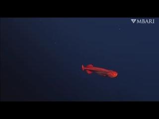 Ученые сняли на видео редкую глубоководную рыбу относящуюся к отряду китовидкообразных