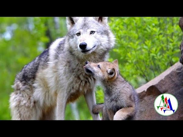 ВОЛЧИЦА благодарна старику за доброту - дед приютил хищницу, она родила щенков и вернулась в лес